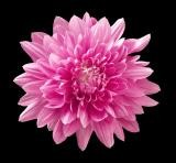 "Mega Mum - 12"" Pot pink color"