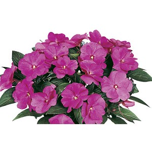 New Guinea Impatiens - Petticoat Hot Rose
