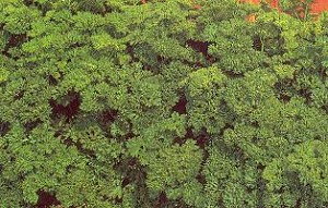Parsley - Moss Curled - Organic
