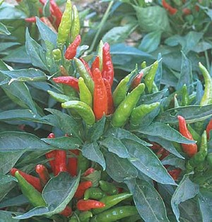Peppers - Hot Thai Dragon