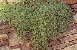 Thyme - Creeping-Mother of