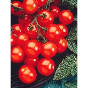 Tomatoes - Husky Red