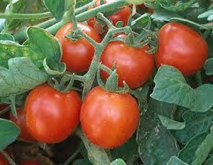 Tomatoes - Large Red Cherry