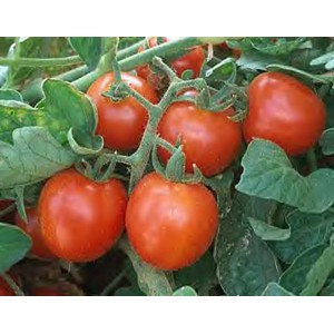 Tomatoes - Large Red Cherry - Organic